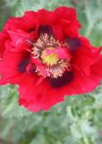 58 red poppy