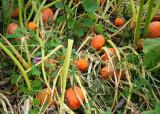 41 baby pumpkins
