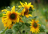 38 volunteer sunflower