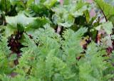 20 carrot tops, greens
