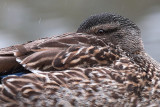 Female Mallard Close Up