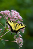 Tiger Swallowtail Butterfly on Joe-Pye Weed