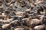 The zebras think it over