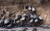 Gnus are not good at picking leaders