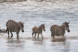 Zebras on their own
