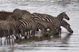 The zebras take a drink