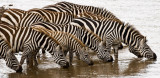 Zebras at the Mara River
