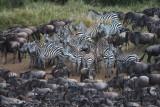 The zebras stick together