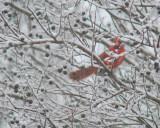 Cold_cardinal