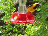 Male Hooded Oriole2.jpg