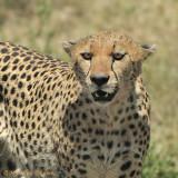 Cheetah is watching you !