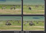 Zebres, Guerre et Paix...