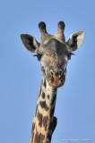 Charming Giraffe