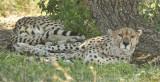 Guepards -Cheetahs