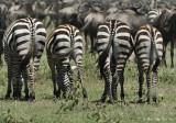 Zebres et Gnous