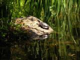 Turtle reflection-Mytoi Gardens Chappaquiddick.jpg