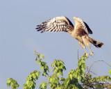 Northern Harrier Taking Flight.jpg