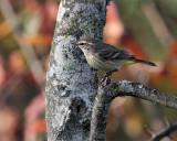 Palm Warbler.jpg