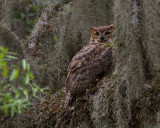 Great Horned Owl on Shady Oak.jpg