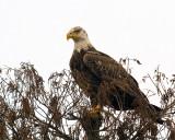 Bald Eagle in the Treetop.jpg