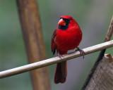 Cardinal on a Branch.jpg
