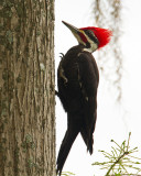 Pileated Woodpecker on Alligator Alley.jpg