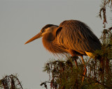 Great Blue Heron at Sunrise.jpg