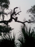 Barred Owl in a tree over Dannys tent at Lake Kissimmee State Park.jpg