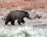Tagged Grizzly Boar in Lamar Valley.jpg
