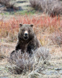 Tagged Grizzly Boar in Lamar Canyon in the Sage.jpg