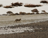 Lamar Canyon Wolf Crossing the River.jpg
