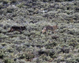 Two Lamar Canyon Wolves in the Sage Across the Road.jpg