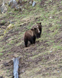 Grizzly Sow and Cub On the Hill Near Soda Butte.jpg