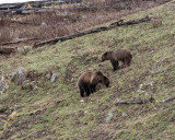 Grizzly Sow and Cub Near Soda Butte.jpg