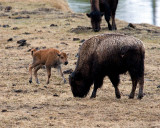 Bison Calf Playing While Mommy Grazes.jpg