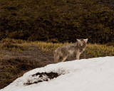 Coyote Near Canyon.jpg