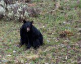 Black Bear Near Phantom Lake.jpg