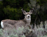 Black Tail Deer on the Road to Jardine.jpg