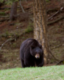 Black Bear on the Hill Near Tower.jpg