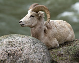 Young Ram on the Rocks.jpg