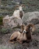 Two Bighorn Rams Near Wrecker Pullout.jpg