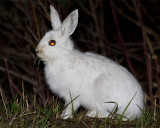 Snowshoe Hare on the Road to Norris Junction.jpg