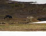 Grey and Black Wolves at Norris Junction.jpg