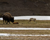 Momma Bison Staring Down Grey Wolf at Norris Junction.jpg