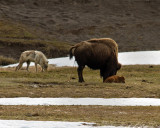 Grey Wolf Sniffing Around Bison Calf at Norris Junction.jpg