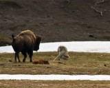 Grey Wolf Dodging Bison Mom Near Norris Junction.jpg