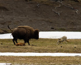 Grey Wolf Dodging Momma Bison.jpg