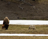 Grey Wolf Darting at Bison Calf.jpg