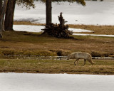 Grey Wolf by the Gibbon River.jpg