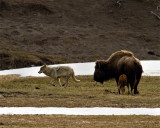 Grey Wolf Running Past Bison Momma and Calf.jpg